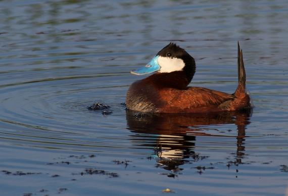 Ruddy Duck Horsehead Lake Kidder County ND IMG_1091