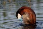 Ruddy Duck Horsehead Lake Kidder County NDIMG_1112