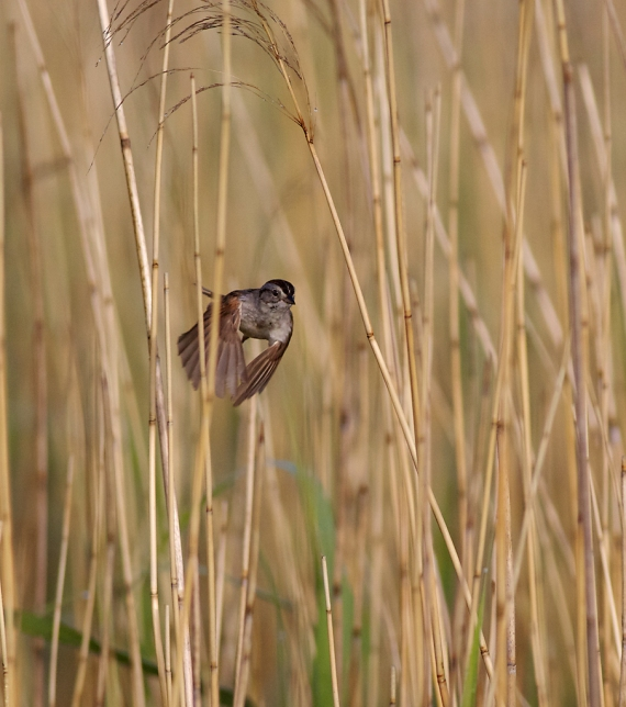 Swamp Sparrow Horsehead Lake Kidder Co ND IMG_1295