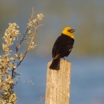 Yellow-headed Blackbird Horsehead Lake Kidder County NDIMG_1157