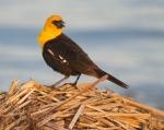Yellow-headed Blackbird Horsehead Lake Kidder County NDIMG_1185