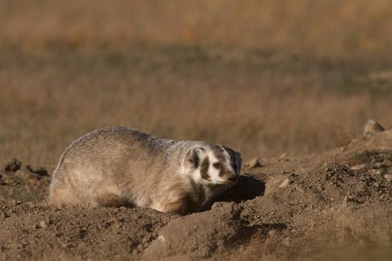 Badger Teddy Roosevelt National Park ND IMG_5617