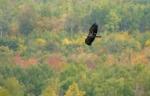 Bald Eagle Hawk Ridge Duluth MNIMG_003792