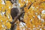 Bald Eagle in Quaking Aspen [October; Superior National Forest,Minnesota]
