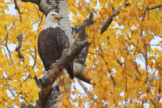 Bald Eagle in Quaking Aspen [October; Superior National Forest, Minnesota]