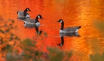 Canada Goose fall color reflection Rock Pond UMD Duluth MNIMG_0067214