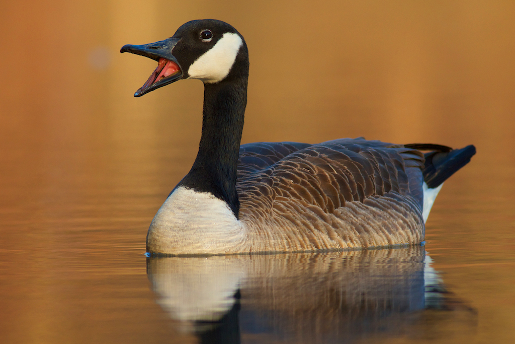 Canada Goose toronto replica cheap - Fall colors | The PhotoNaturalist