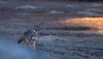 Coyote Teddy Roosevelt National Park NDIMG_5737