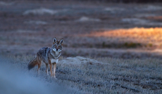 Coyote Teddy Roosevelt National Park ND IMG_5737