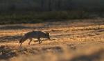 Coyote Teddy Roosevelt National Park NDIMG_5795