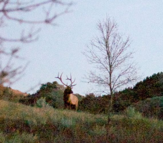 Elk bull sunset Teddy Roosevelt National Park ND IMG_5906
