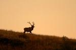 Elk bull Teddy Roosevelt National Park NDIMG_4935