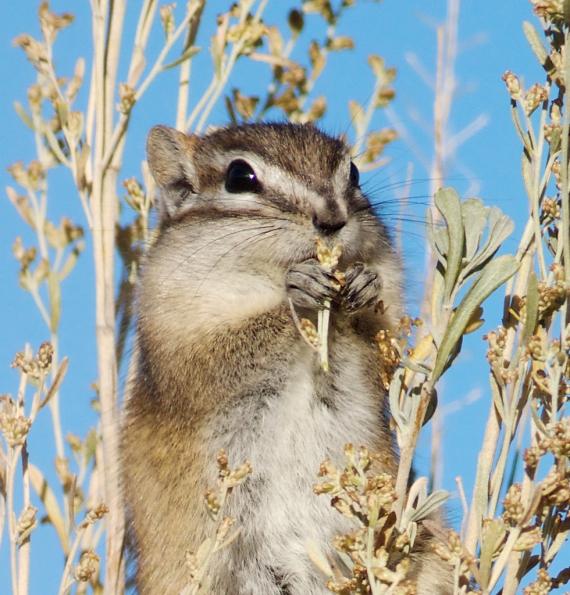Least Chipmunk Teddy Roosevelt National Park ND IMG_5051b