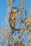 Least Chipmunk Teddy Roosevelt National Park NDIMG_5059b