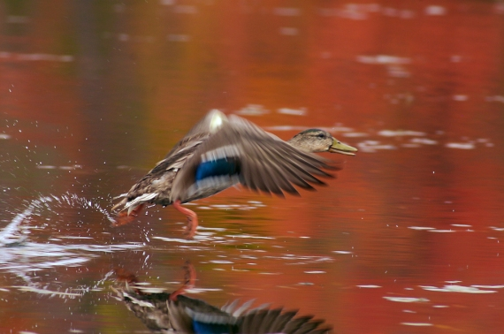 A drake Mallard takes off [September; Rock Pond, UMD, Duluth, Minnesota]
