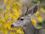 Mule Deer buck yellow leaves Yellowstone National Park WY770_7053