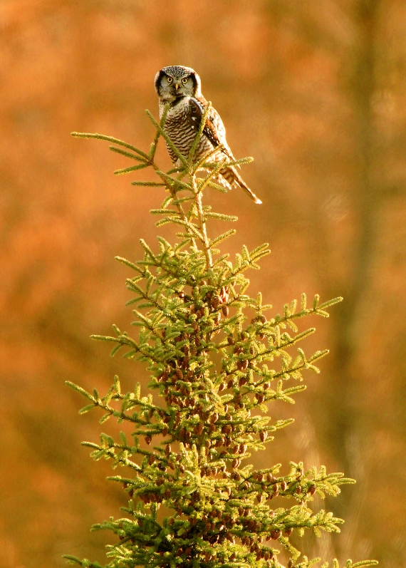N Hawk Owl Tamaracks