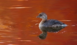 Pied-billed Grebe fall color reflection Rock Pond UMD Duluth MNIMG_0067366
