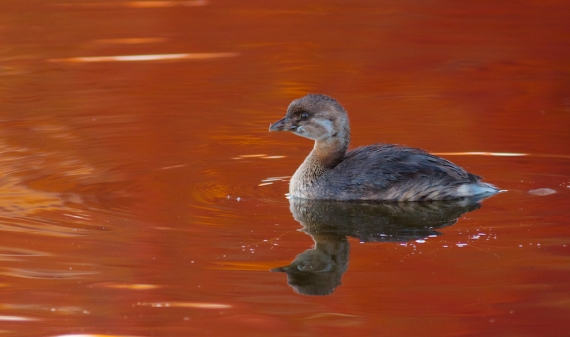 Pied-billed Grebe fall color reflection Rock Pond UMD Duluth MN IMG_0067366