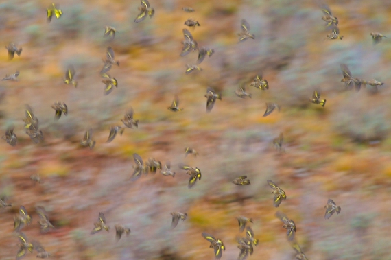 Pine Siskins swirl in a winter feeding flock [September; Yellowstone National Park, Wyoming]