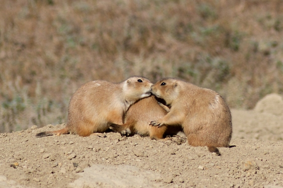 Prairie Dog buddies IMG_5128