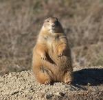 Prairie Dog fatIMG_5509