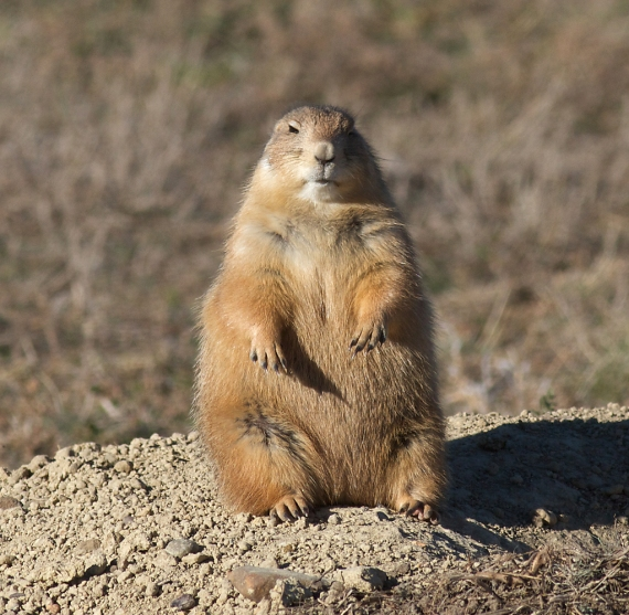 Prairie Dog fat IMG_5509