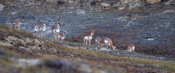 Pronghorn herd Teddy Roosevelt National Park ND IMG_5818