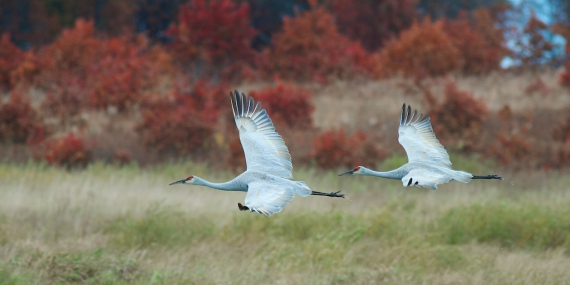 Sandhill Cranes staging at Crex Meadows  [October 2008, near Grantsburg, Wisconsin]