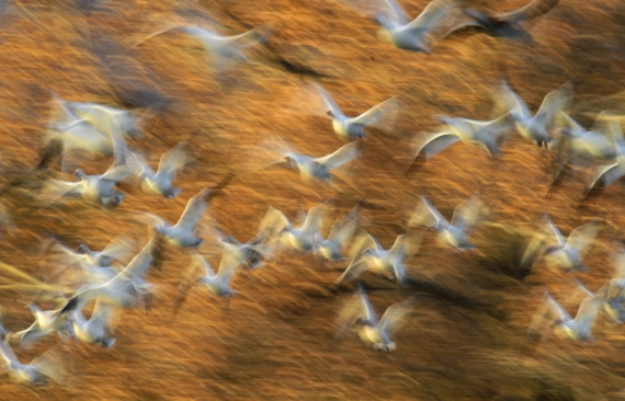 Snow Goose blur yellow tree_9397