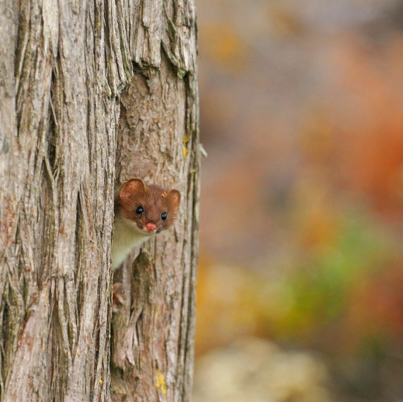 While calling for Moose, we inadvertently attracted the attention of this curious weasel [October; Superior National Forest, Cook County, MInnesota]