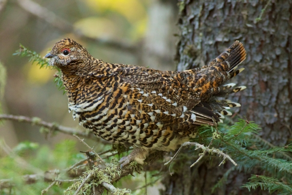 Spruce Grouse female hen Sawbill Landing Road Superior National Forest Lake Co MN IMG_2588