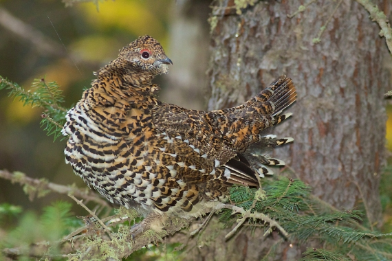 Spruce Grouse female hen Sawbill Landing Road Superior National Forest Lake Co MN IMG_2595