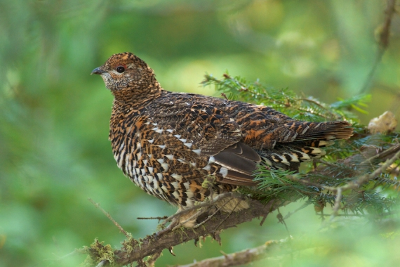 Spruce Grouse female hen Sawbill Landing Road Superior National Forest Lake Co MN IMG_2609