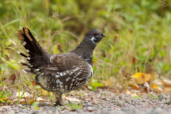 Spruce Grouse male Stoney River Forest Road Road Superior National Forest Lake Co MN IMG_2474