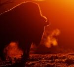Bison backlit sunrise Teddy Roosevelt National Park NDIMG_5991