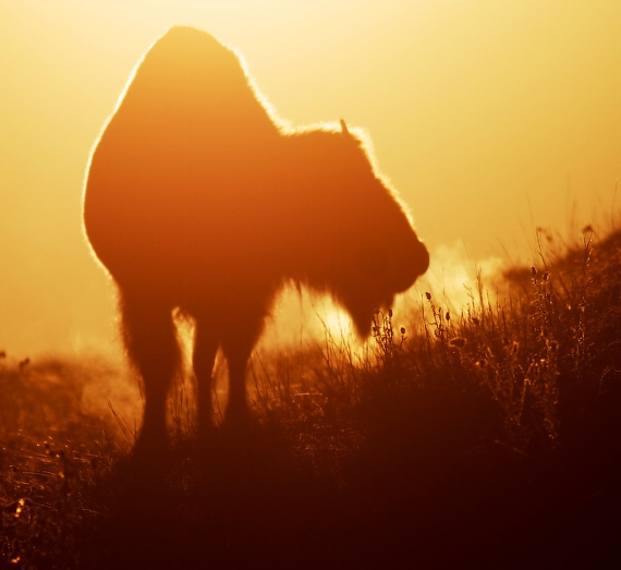 Bison backlit sunrise Teddy Roosevelt National Park ND IMG_5996