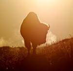 Bison backlit sunrise Teddy Roosevelt National Park NDIMG_6005