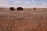 Bison Teddy Roosevelt National Park NDIMG_6515