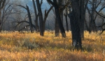 Cottonwoods Little Missouri River Roosevelt National Park NDIMG_6297