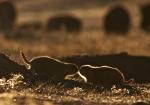 Prairie Dog Roosevelt National Park NDIMG_6065