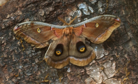 Antheraea polyphemus Polyphemus Moth Skogstjarna Carlton Co MN IMG_9367