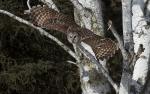 Barred Owl Peary Road Sax-Zim Bog MNIMG_8448