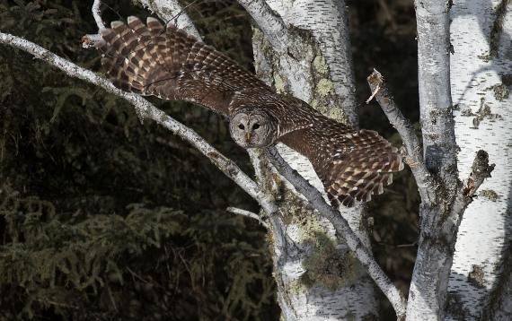 Barred Owl Peary Road Sax-Zim Bog MN IMG_8448