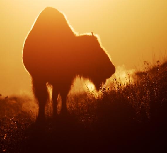 Bison backlit sunrise Teddy Roosevelt National Park ND IMG_5996
