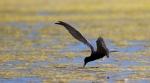 Black Tern Oak Hammock Marsh ManitobaIMG_0205