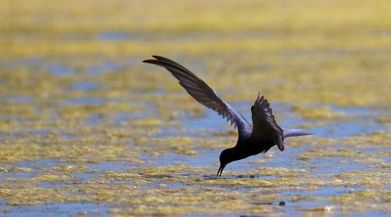 Black Tern Oak Hammock Marsh Manitoba IMG_0205