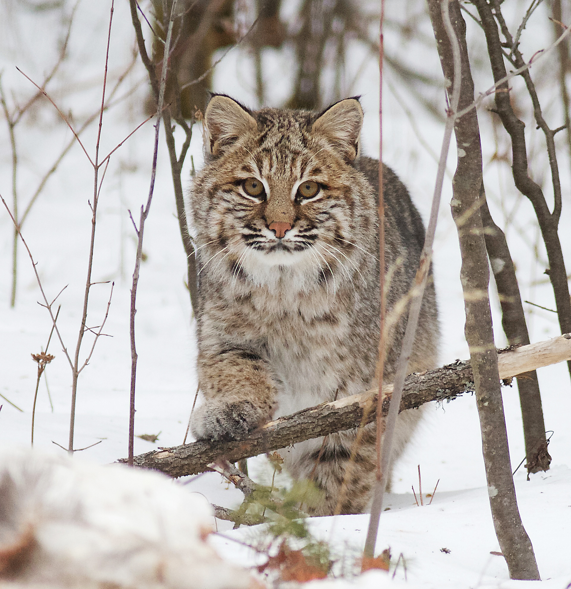 Show Me A Picture Of A Bobcat >> Show Me A Picture Of A Bobcat | New Car Release Information