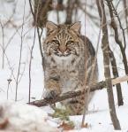 Bobcat Lynx rufus Carlton Co MN BobcatIMG_3390