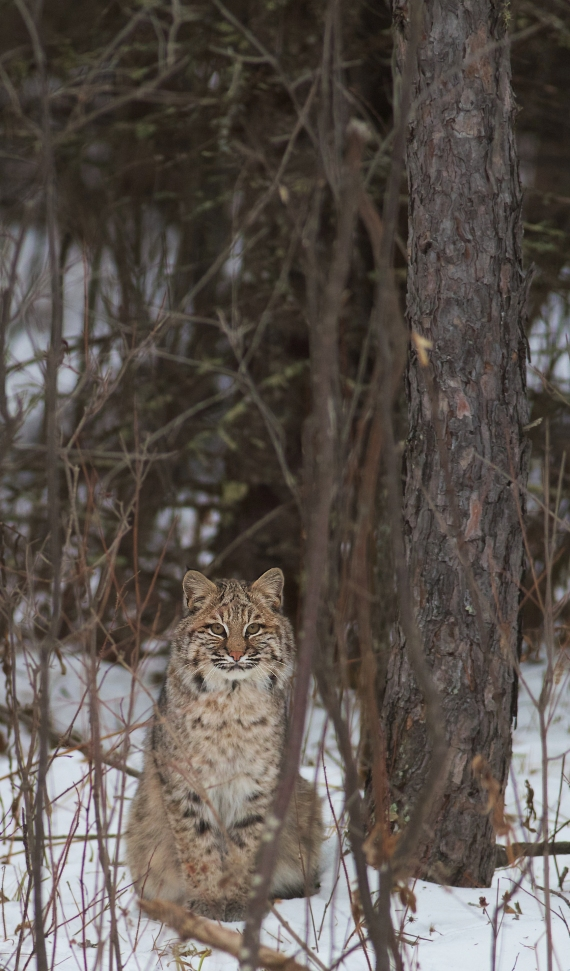 Bobcat Lynx rufus Carlton Co MN IMG_3373